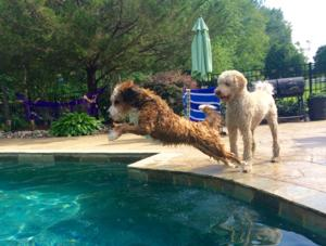 <p>If you have ever wondered if Bernedoodles like water, here is your answer.</p>