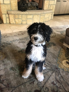 A F1 miniature bernedoodle is a cross between a Bernese mountain dog and a toy or miniature poodle. Mini bernedoodles are expected to